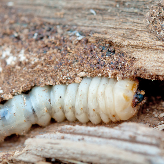 Wood-Decaying Pests